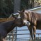 Elwha_Mules_1X_082217_85_11_1000px_reduced