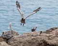 Brown Pelican - Louisiana