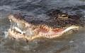 Alligator Fishing