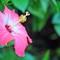 Pink Hisbiscus