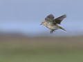 Hovering Tree Pipit