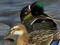 Quackity Quack... Don't Talk Back