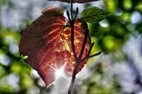 Hobble bush (Viburnum lantanoides - Adoxaceae)