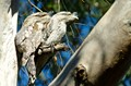 Tawny frogmouth pair- they are always in my backyard - sunning themselves on the same branch every day and all day in winter - Brisbane Australia- they do not mind how close I get to them.