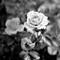 Rose  | Englewood, CO | June, 2017