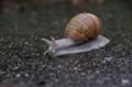 Snail during the rain