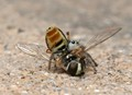 Jumping spider and his fly