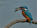 The prey of the Kingfisher