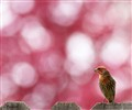 Finch_and_Cherry_blossom