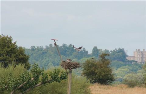 Ospreys at Nest