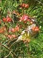 Red Wattlebird in Grevillea Blossom