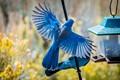 Mountain Bluebird-6394