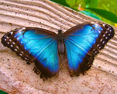 Blue Morpho (1)
