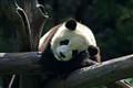 The resting panda