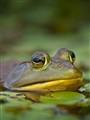 Bullfrog, Rideau Lakes