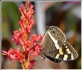 Steenberg Butterfly