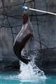 Jump, sea lion!