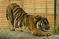 Just a big cat (Sumatran Tiger)