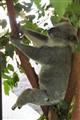 DSC05084 - Lazy Koala