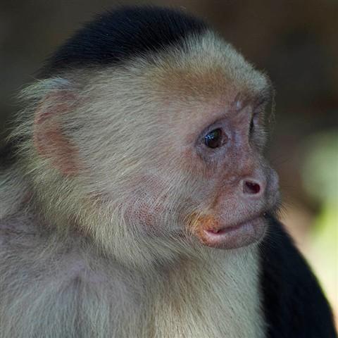 Capuchin C1