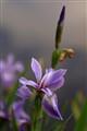 Untouched Iris