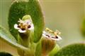 Leafy Spurge Flower