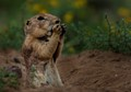 Prairie Dog surprise