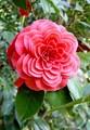 Red Camellia with a symmetrical petals arrangements