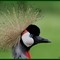 Crowned_Crane