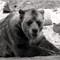 GrizzlyBear2-1600