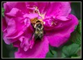 Bumble Bee and Syphid Fly on Rose
