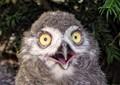 baby Snowy Owl  P1480373