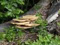 Brecon fungi.