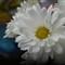 20130124-daisy-P1019084