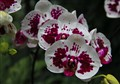 orchid from singapur