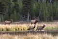 Elk early evening