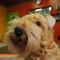 Toy terrier in pet grooming salon window