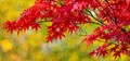 Japanese Maple Against Silver Maple