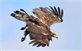 Juvenile Eagle in Full Dive
