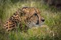 Cheetah-2442