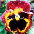My pansy