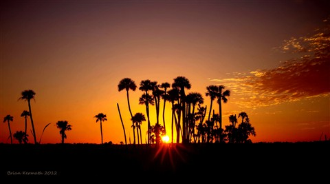 Sunset over the marsh and through cabbage palms (Sabal palmetto - Arecaceae)