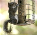 How squirrelproof is your birdfeeder?