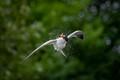 Caspian tern twisting in the air