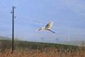 Ardea alba / Great egret / Grande aigrette / Egreta mare