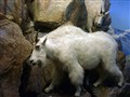 Mountain Goats Behind Glass