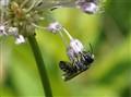 BW Bee