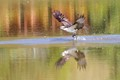 Osprey diving to catch a fish