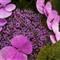 hydrangeas violet/green