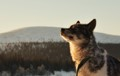 Young Husky enjoying the first sunrays of the day after sleeping outside by the frozen lake by -15°C. Northern Finland.